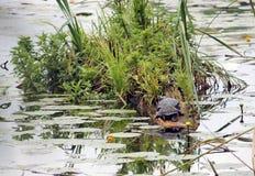 Schildpadden in de vijver Stock Fotografie