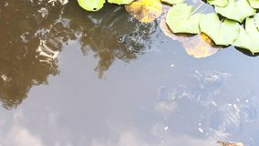 Schildpadden in de vijver stock video