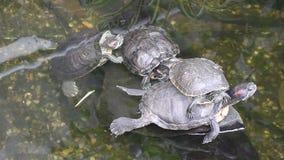 Schildpadden in de vijver stock videobeelden