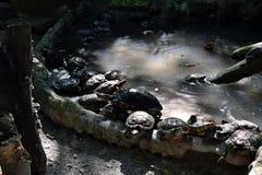 Schildpadden in de vijver in de dierentuin wordt gehouden die stock foto