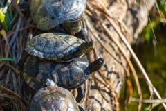 Schildpadden in de Zon Stock Foto's