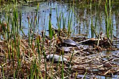Schildpadden in de Zon Royalty-vrije Stock Fotografie
