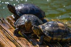 Schildpadden in de zon op het meer van de Botanische Tuin in Rio de Janeiro Brazil stock foto