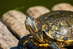 Schildpadden in de zon op het meer van de Botanische Tuin in Rio de Janeiro Brazil royalty-vrije stock afbeeldingen