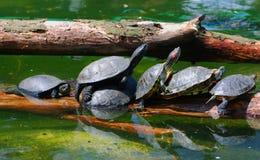 Schildpadden dichtbij water. Stock Foto's