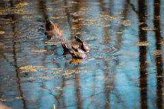 Schildpadden die aan een tak in een band zwemmen royalty-vrije stock afbeelding
