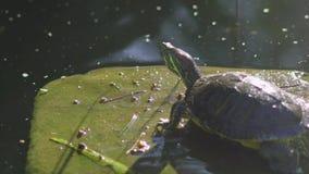 Schildpadden die bij de vijver, Zoetwaterschildpadden zonnen stock videobeelden