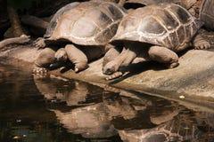 Schildpadden die in de waterspiegel worden weerspiegeld Stock Afbeeldingen