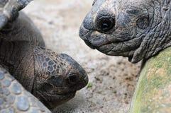 Schildpadden die elkaar bekijken Stock Fotografie