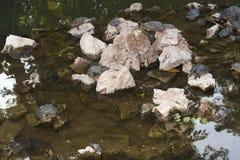 Schildpadden die foto zonnen Stock Foto