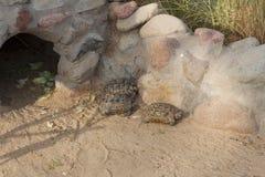 Schildpadden die foto zonnen Royalty-vrije Stock Foto's