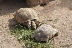 Schildpadden die foto zonnen Royalty-vrije Stock Foto