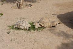Schildpadden die foto zonnen Stock Foto's