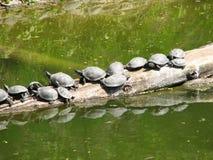 Schildpadden die foto zonnen Stock Afbeelding