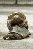 Schildpadden die Leapfrog spelen stock afbeelding