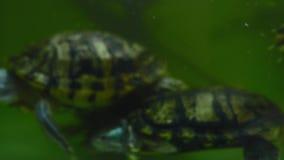Schildpadden die onder het water in het aquarium zwemmen stock video