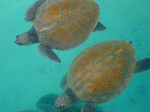 Schildpadden die op cancunstranden voeden Royalty-vrije Stock Afbeeldingen