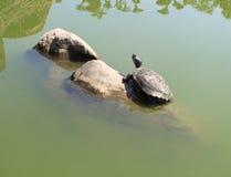 Schildpadden die op de rotsen zonnebaden Stock Afbeeldingen