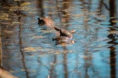 Schildpadden die op een tak in het water proberen te beklimmen stock afbeelding