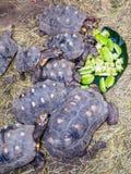 Schildpadden die op sterfruit voeden Royalty-vrije Stock Afbeeldingen