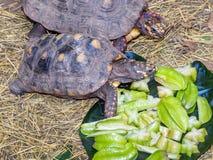 Schildpadden die op sterfruit voeden Royalty-vrije Stock Foto