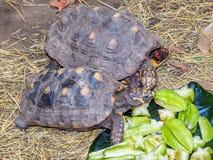 Schildpadden die op sterfruit voeden Royalty-vrije Stock Fotografie