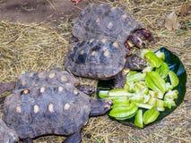 Schildpadden die op sterfruit voeden Stock Afbeeldingen