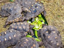 Schildpadden die op sterfruit voeden Stock Foto