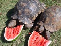 Schildpadden die watermeloen eten Stock Fotografie