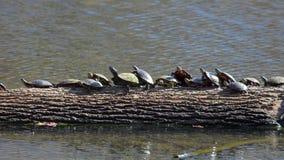 Schildpadden in een lijn - 2 stock foto