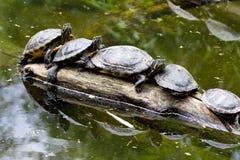 Schildpadden in een rij Stock Foto's
