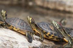 Schildpadden in een rij Royalty-vrije Stock Afbeeldingen