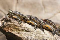 Schildpadden in een rij Stock Fotografie