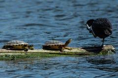 Schildpadden en een Amerikaanse koet samen royalty-vrije stock fotografie