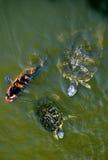 Schildpadden en Vissen Koi Royalty-vrije Stock Afbeeldingen