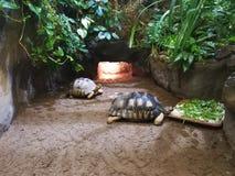 Schildpadden in gevangenschap royalty-vrije stock afbeelding