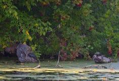 Schildpadden in het moeras Stock Afbeelding