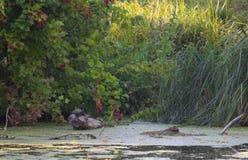 Schildpadden in het moeras Royalty-vrije Stock Foto's