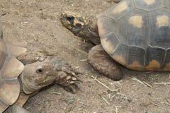 Schildpadden het in nauw contact staan met Stock Foto's