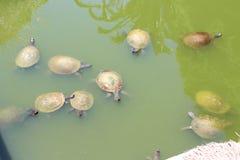 Schildpadden in het water Stock Afbeelding