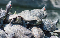 Schildpadden het zonnebaden Royalty-vrije Stock Foto's