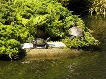 2 schildpadden het zonnebaden Royalty-vrije Stock Fotografie