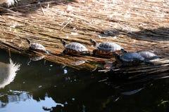 Schildpadden het zonnebaden Royalty-vrije Stock Afbeeldingen