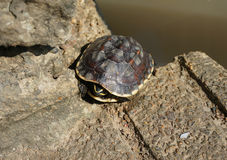 Schildpadden het Zonnen Royalty-vrije Stock Fotografie