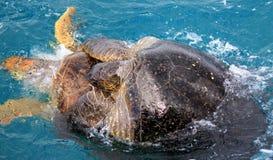 Schildpadden & x28; Mounted& x29; royalty-vrije stock afbeeldingen