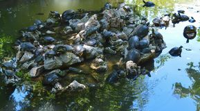 Schildpadden in Nationale Tuin in Athene, Griekenland op 23 Juni, 2017 Stock Foto