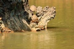 Schildpadden op de boom Stock Fotografie