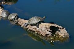 Schildpadden op Drijfhout stock foto