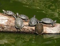 Schildpadden op een boomstam van boom stock foto