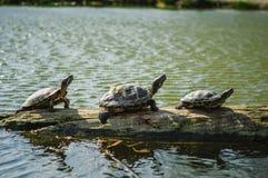 Schildpadden op een logboek Royalty-vrije Stock Fotografie